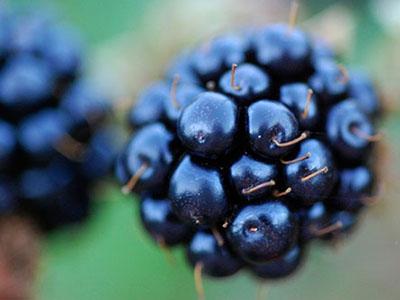 Closeup of blackberries