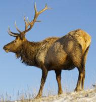 Eats_Elk