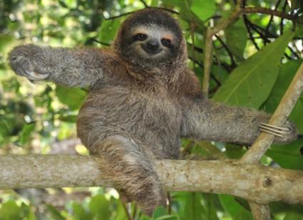 Pygmy three-toed sloth