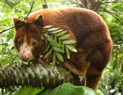 Gold-mantled tree kangaroo